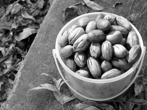 bucket of pecans